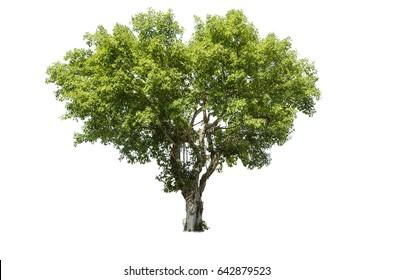 Tree isolated on white,Ficus benjamina