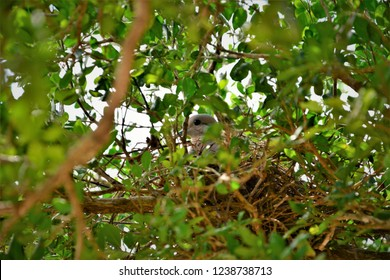 In the tree of jaboticaba a dove rolinha hatching its eggs