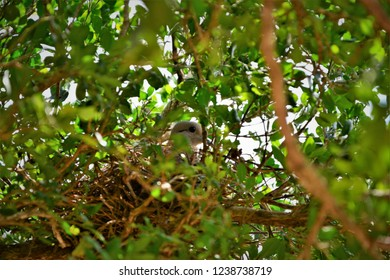 In the tree of jaboticaba a dove rolinha hatching its eggs in the nest