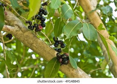 Tree with jabuticaba - Myrciaria cauliflora - fruit .