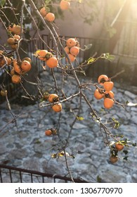 A tree with kaki apples.  Persimmon fruit.