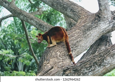A tree kangaroo at the Adventure Park outside Port Moresby, Papua New Guinea.