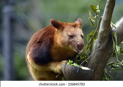 the tree kangaroo is licking his food in his food bowl