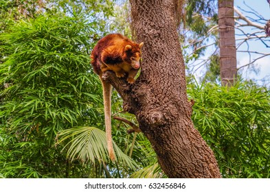 The Tree Kangaroo are native to the tropical rain forest of New Guinea and northeastern Australia
