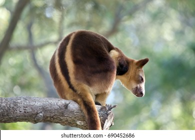 the tree kangaroo is resting on a branch of a tree