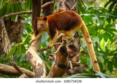 Tree Kangaroo using tail to balance as it moves along branches