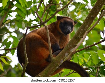 Tree kangaroo in the wild in branches of tree in North Queensland in Australia