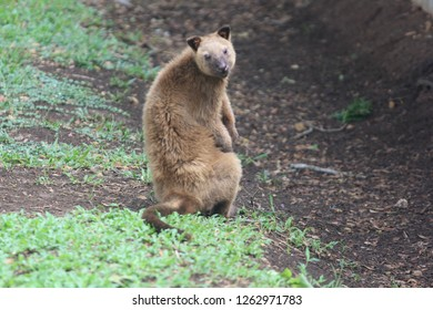 Tree kangaroos usually stay high on trees but this one decided to stretch its legs after a hefty breakfast served by her caretakers at the Adventure Park on the outskirts of Port Moresby.