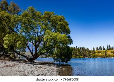 Tree, lake landscape, glenorchy queenstown, NZ