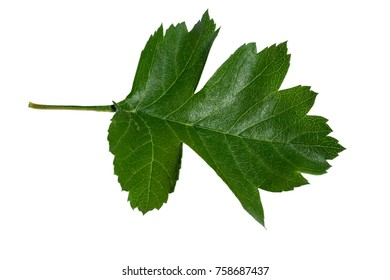 tree leaf isolated on a white background closeup