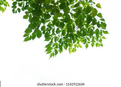 Tree Leaf On White Background