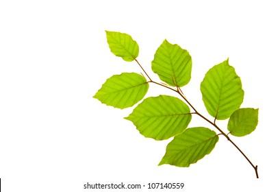 Beech Tree Leaf Images Stock Photos Vectors Shutterstock