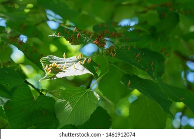 tree leaves affected by aphids. Insect pests and tree deseases. Organic food and agriculture.