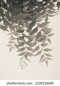 Tree leaves against white background