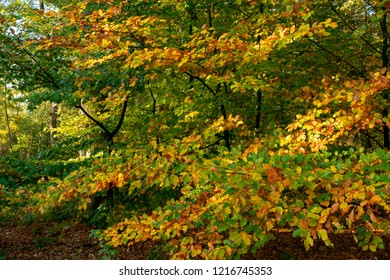 Tree with leaves in autumn colors. Location: Germany, North Rhine-Westphalia, Hoxfeld.