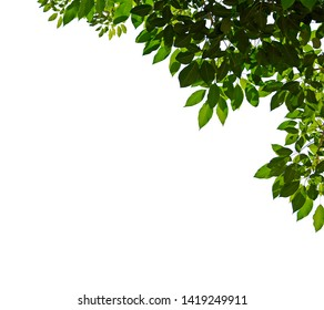 Tree leaves and branch pendant foreground isolated on white for park or garden decorative with clipping path.