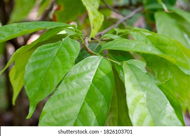 Tree and leaves of the cocoa tree