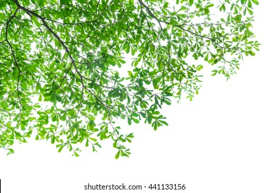 tree leaves on white background