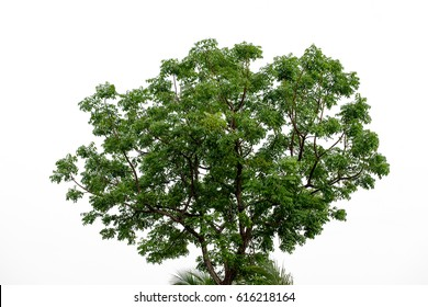The tree and leaves on the white background.