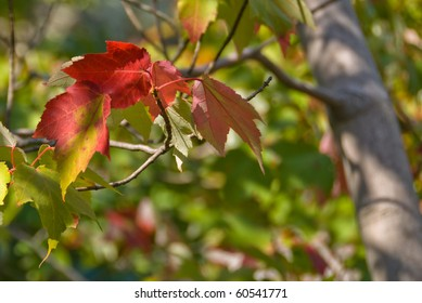 Tree leaves turn beautiful red for season change in  autumn