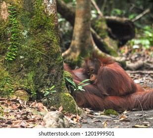 tree with lichens cover a mum orangutan. baby bornean orangutan (Pongo pygmaeus)  hugs its mum with peaceful and loving face, so cute.In the middle of Kalimantan jungle.tanjung puting national park.