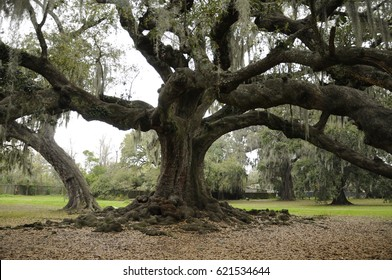 Tree of Life, Audubon Park, New Orleans Perhaps the oldest and largest live oak tree in the city, the Tree of Life is the setting for weddings and other events.