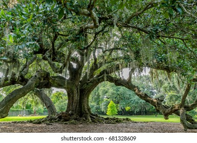 Tree of life in Audubon Park, New Orleans, Louisiana. Huge live oak tree said possibly to be 300 years old (planted about 1740). Limbs spread to160 feet. The girth is measured at about 27 feet.
