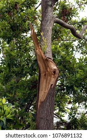 Tree with limb broken off after storm