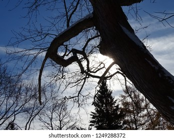 Tree limb  with crooked branches and light blue sky and white billowy clouds