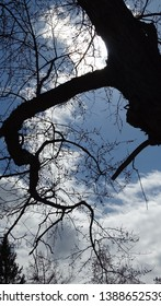 Tree limb with a long twisted branch curling down and a blue sky with white billowy clouds