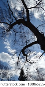 Tree limb with twisted branches against a blue sky and white large billowy clouds and tree line on bottom