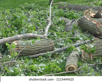 Tree limbs and leaves from a cut down cottonwood tree