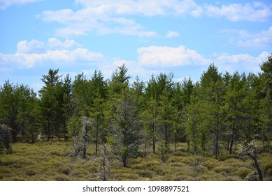 A tree line in Northern Wisconsin near the Michigan border outside of Land O' Lakes.  The various pines and cedar trees contrast against the blue clouded sky with scrub in the foreground.