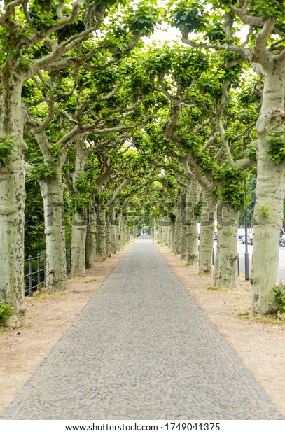 Tree lined avenue in the city. The promenade in the city center. A city in Germany. Green plane trees. Gray paving stone.