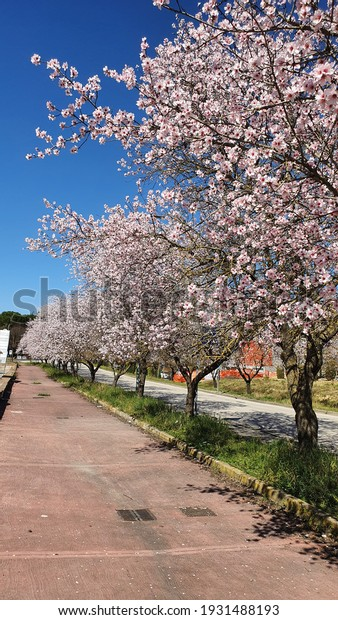 Tree lined avenue with flowery almond trees