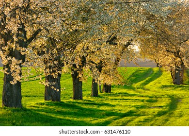Tree Lined Farm Track with Blooming Cherry Trees in the Warm Light of the Setting Sun