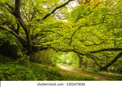 Tree lined track underneath an ancient Beech tree with dense green foliage in a woodland on the Goodwood Estate near Chichester in England