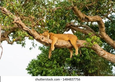 Tree Lions at Queen Elisabeth National Park Uganda
