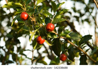 Tree with little red fruit called acerola, rich in vitamins, found in South America.
