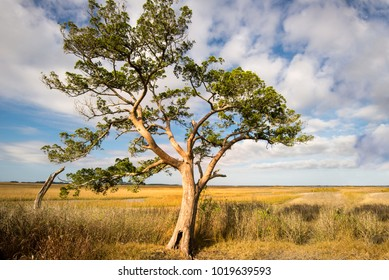 tree lone in beach marsh of golden yellow grass and sea oats