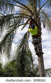 Tree Loper using chainsaw to cut the branches on a Palm Tree.