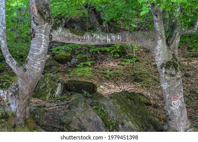 Tree of love (two trees connected with a branch) near Studenica in Serbia