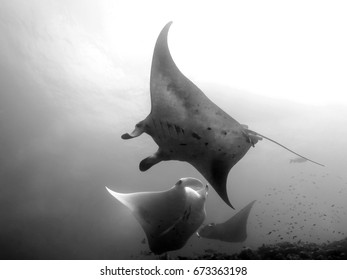 Tree manta rays in Maldives
