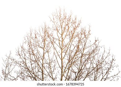 Tree with many branches without leaf