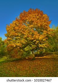 Tree maple in colorful autumn