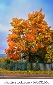Tree maple with red and yellow leaves, next to a rustic house, against a blue sky background