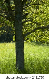 Tree and meadow in spring
