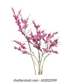 A tree with medium pink flowers all over the growth on a white background