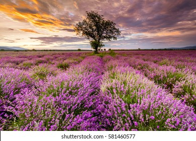 A tree in the middle of lavender field