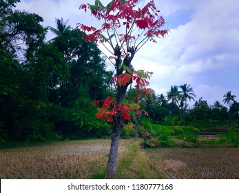 A Tree In The Middle Of The Rice Field After Harvesting, Ringdikit Village, Buleleng, North Bali, Indonesia